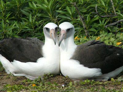 pareja-hembras-albatros